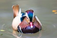 Flotación y calma del pato de mandarín en el agua, sola Fotos de archivo