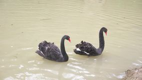 Flotador de dos cisnes negros en el lago Pares del amor de cisnes negros Concepto hermoso de la fauna primer, 4k, a c?mara lenta metrajes