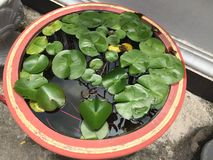 Flotador de la hoja de Lotus en el pote del agua en jardín tranquilo con el reflejo de luz del sol, descensos del agua en verde v Imagenes de archivo