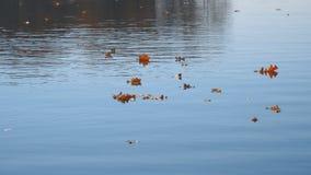 Flotador de las hojas de otoño en el agua Lago o río con agua reservada en la estación del otoño almacen de video