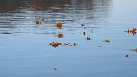 Flotador de las hojas de otoño en el agua Lago o río con agua reservada en la estación del otoño metrajes