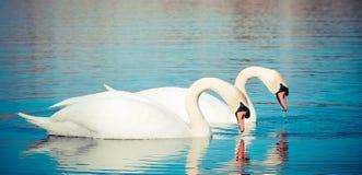 Flotador de los cisnes en el lago Fotos de archivo