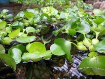 Flotador de los jacintos de agua en la charca en Griffith Park Conservatory Foto de archivo libre de regalías