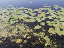 Flotador de los lirios de agua en el agua con el lirio Imagen de archivo libre de regalías