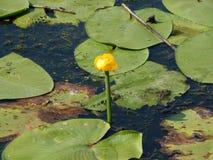 Flotador de los lirios de agua en el agua con el lirio Imagenes de archivo