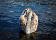 Flotador del pájaro del cisne en el agua en fondo natural imágenes de archivo libres de regalías