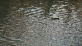 Flotadores de madera artificiales del pato en el agua metrajes