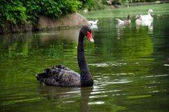 Flotadores del cisne negro Foto de archivo
