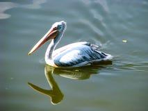 Flotadores hermosos del pelícano en el agua en día soleado foto de archivo libre de regalías