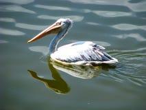 Flotadores hermosos del pel?cano en el agua en d?a soleado imagen de archivo