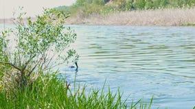 Flotadores subacuáticos del cazador en la superficie de un pequeño río metrajes