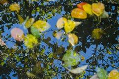 Flotando en las hojas del amarillo del charco de árboles y una reflexión de un árbol, otoño Fotografía de archivo libre de regalías