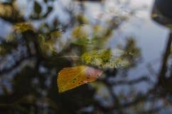 Flotando en las hojas del amarillo del charco de árboles y una reflexión de un árbol, otoño Fotografía de archivo