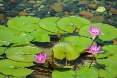 Flote la flor de loto de 3 rosas en la charca con las rocas en la tierra imagen de archivo libre de regalías