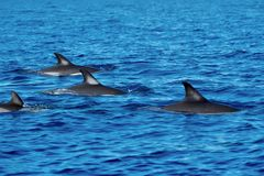 A flotilla of common dolphins stock image