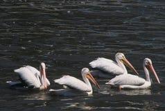 Flotille de pélican blanc Photographie stock libre de droits