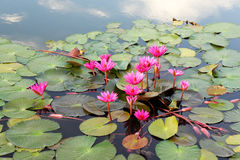 flottörhus blommalotusblomma Royaltyfria Bilder