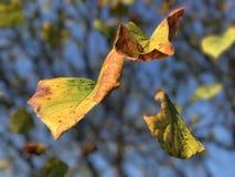flottörhus leaves Arkivfoton