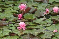 Flottörhus Leaves med rosa näckrosor Arkivfoton