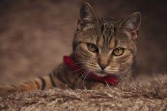 Flott katt med band och röda bowtielögner på päls royaltyfria foton
