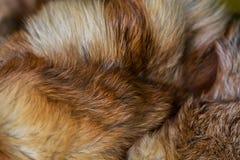 Flott och lyxig päls för röd räv arkivbilder