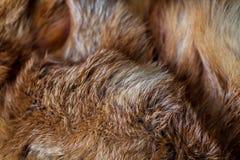 Flott och lyxig päls för röd räv royaltyfria foton
