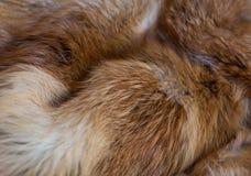 Flott och lyxig päls för röd räv arkivfoto