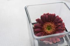 Flott röd blomma i ett vitt utrymme för vas royaltyfri bild