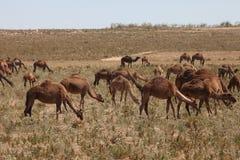 Flotte africaine de chameaux Images libres de droits