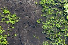 Flottement de plantes aquatiques Photographie stock libre de droits