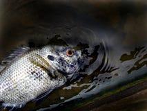 Flottement mort de poissons Photos libres de droits