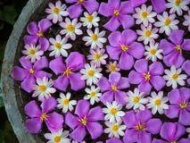 Flottement pourpre de fleurs de gloire et de starburst Photos libres de droits