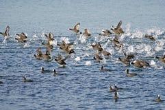 Flotteur de canards dans l'eau Photographie stock