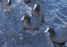 Flotteur de canards dans l'eau Photo libre de droits