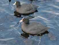 Flotteur de canards dans l'eau Images stock