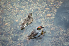 Flotteur de deux canards sur le lac clair crytal Image libre de droits