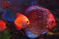 Flotteur de Diskusa dans un aquarium Images stock