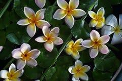 Flotteur de fleurs de Plumeria sur l'eau Photo libre de droits