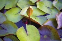 Flotteur jaune de lotus sur la base photo stock