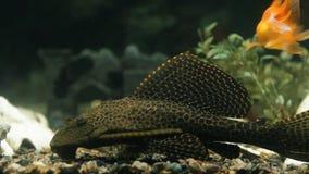 Flotteurs de poissons dans une fin d'aquarium  banque de vidéos