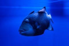 Flotteurs de Triggerfish de titan de poissons Photos stock