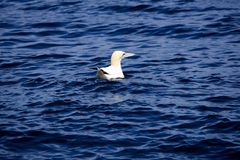 Flotting gannet. A northern gannet at sea near the so called birds island marin life reservation in northern brittany stock photography