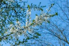 Flouers brancos de abril imagem de stock