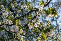 Flouers brancos de abril foto de stock