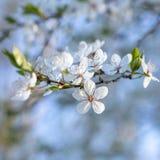 Flouers brancos de abril fotos de stock royalty free