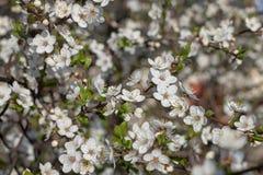 Flouers brancos de abril imagem de stock royalty free