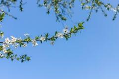 Flouers brancos de abril imagens de stock