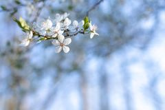 Flouers brancos de abril foto de stock royalty free