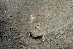 Flounder леопарда Стоковое фото RF