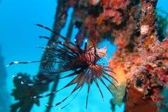 Flounder камбалообразные Стоковые Изображения